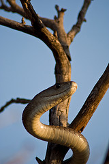 Picture of a Black Mamba snake