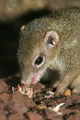 Common Tree Shrew © Arjan Haverkamp CC BY 2.0