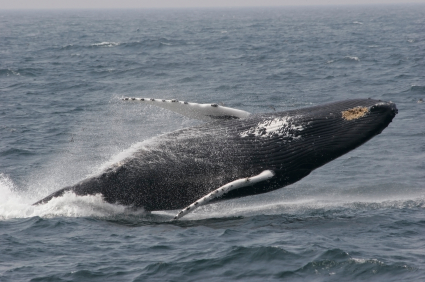 Picture of a humpback whale