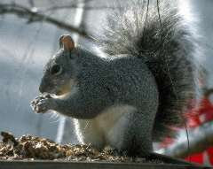 Picture of a Grey Squirrel