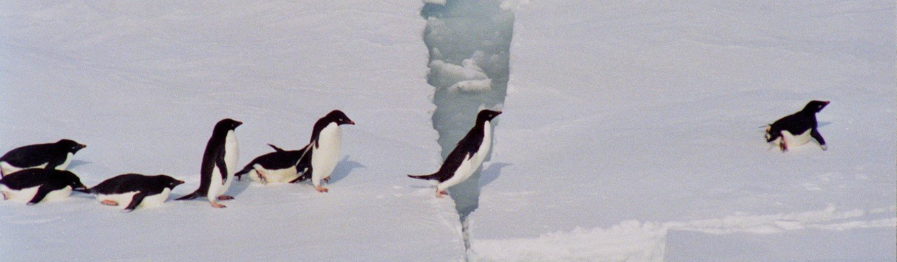 Adelie penguins.full