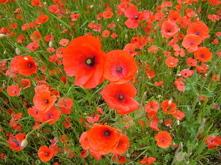 Poppie photo CC Karen Roe