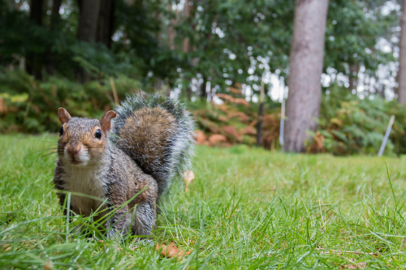 Grey squirrel by Alexander Law