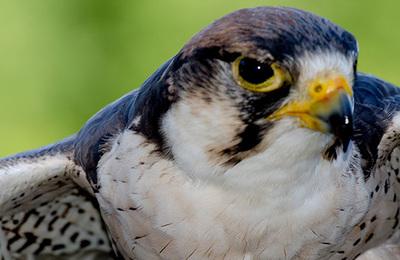 Peregrine falcon.content