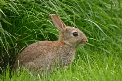 Picture of a Rabbit