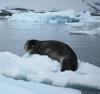 Picture of a Leopard Seal on pack ice