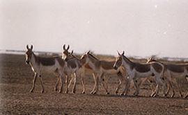 Ass (Asiatic Wild)