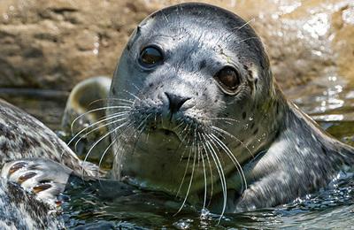 Seal %28leopard%29.content