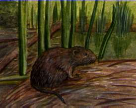 Illustration of a water vole