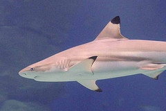 Blacktip Shark © Ross Elliott CC BY 2.0
