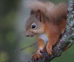 Picture of a Red Squirrel