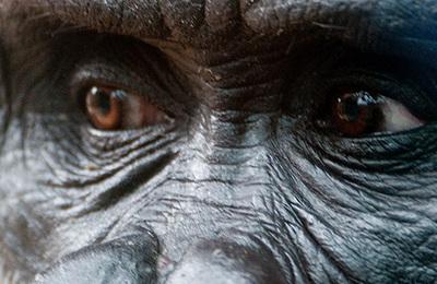Gorilla.content