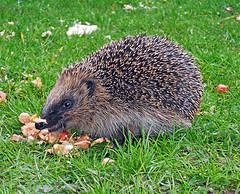 Hedgehog © Duncan Harris CC BY 2.0