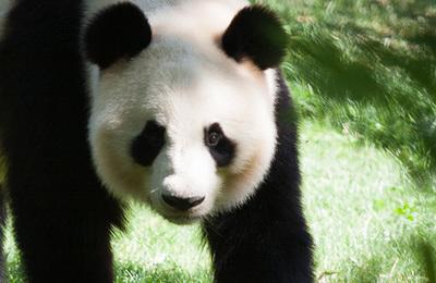 Panda %28giant%29.content