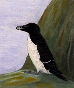 Illustration of a Razorbill