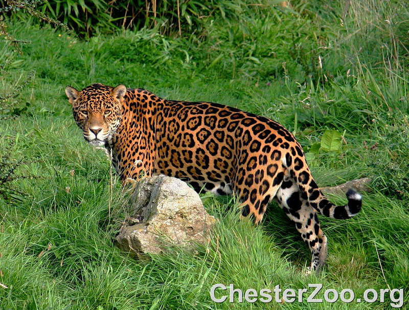 Jaguar - Flickr © Chester Zoo CC BY-ND 2.0