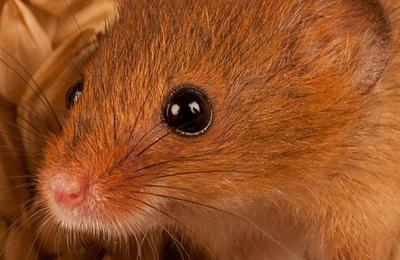 Mouse %28harvest%29.content