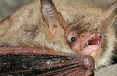Bat natterers.content