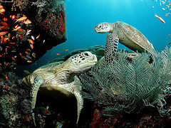 Picture of Green Turtles