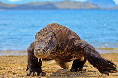 Komodo Dragon © Adhi Rachdian CC BY 2.0