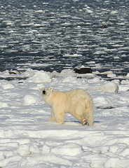 Polar Bear - Dungarees © Emma Bishop CC BY 2.0