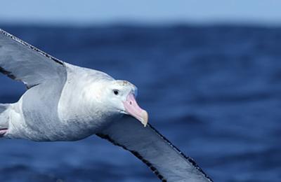 Albatross %28wandering%29.content