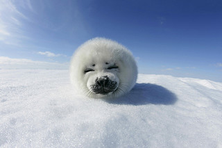 Picture of a Harp Seal pup