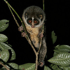 Slender Loris © Rikkis Refuge CC BY 2.0