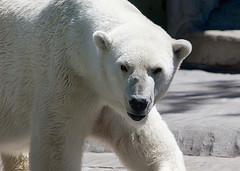 polarbear_flickr_longhorndave