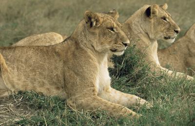 Lionsbanner.content