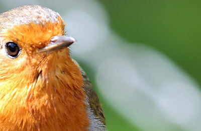 Robin.content