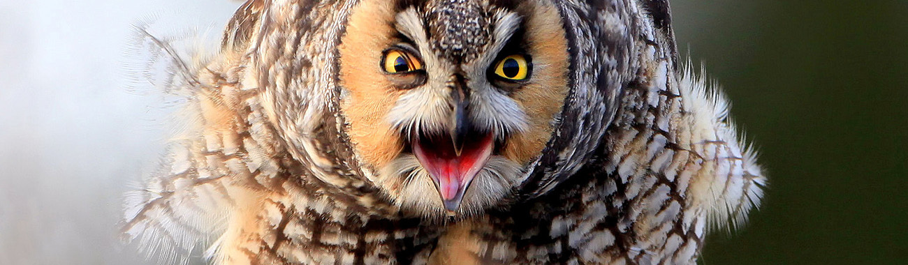 Owl (Long-Eared) - Overview | Young People's Trust For the ...