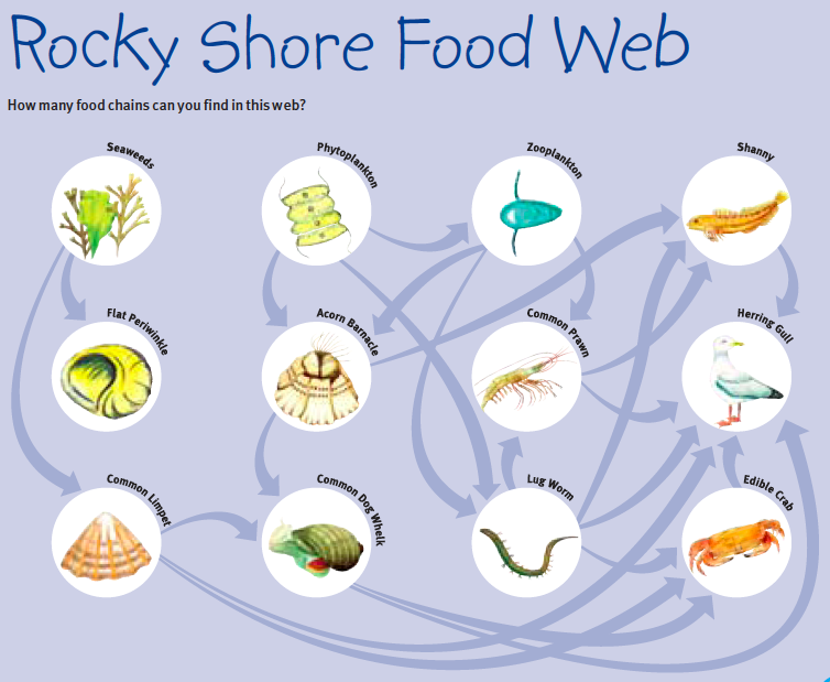 Rocky Shore Food Web