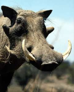 Picture of a warthog