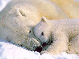 Polar bear Mother and Baby
