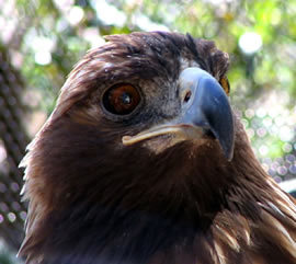 A Golden Eagle at San Francisco Zoo by ManYee DeSandies at pics4learning.com)