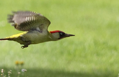 Woodpecker %28green%29.content