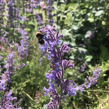 Bee enjoying garden.thumb