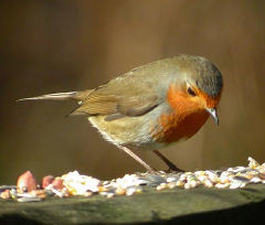 PIcture of a European Robin on a bird table