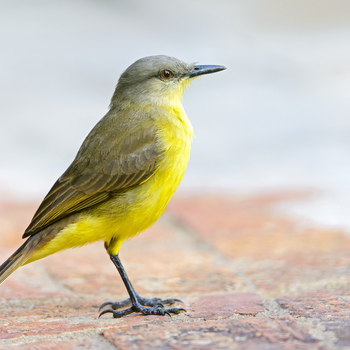 <p>This bird is called Cattle Tyrant (Machetornis rixosa).</p>