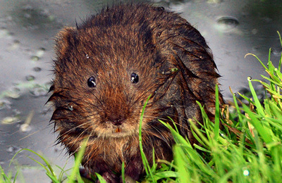 Vole %28water%29.content