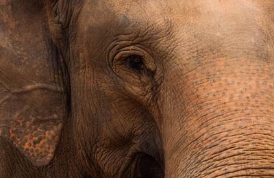 Elephant %28asian%29.content
