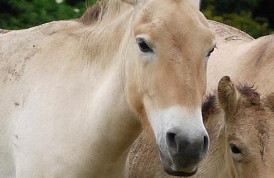 Horse %28przewalskis%29.content