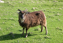 Soay Sheep © og2t ou gee tew tee CC BY 2.0