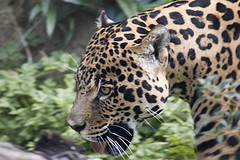 Jaguar © Symonty CC BY-ND 2.0
