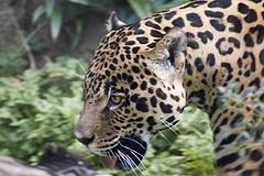 Jaguar © Symonty CC BY-ND 2.0