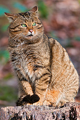 Wild Cat - Flick © Tambako the Jaguar CC BY-ND 2.0
