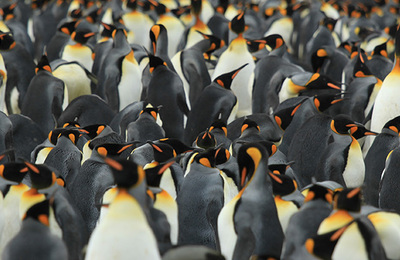 Penguins.content