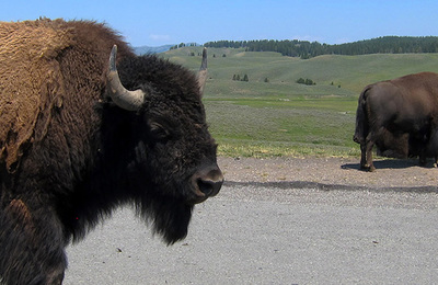 Bison %28amercian%29.content