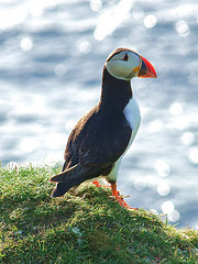 Puffin © Pete + Lynne CC BY-ND 2.0